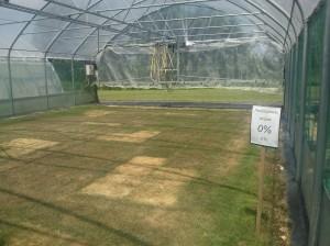Si arriva a testare le cultivar da tappeto erboso fino all'assenza di irrigazione totale!